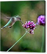 Hummingbird With Purple Verbena Canvas Print