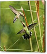 Hummingbirds In Fight Canvas Print