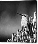 Hummy On Fence B And W Canvas Print