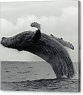 Humpback Whale Breaching Against A Canvas Print