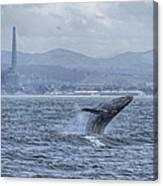Humpback Whale Breaching By Shane Keena  Canvas Print