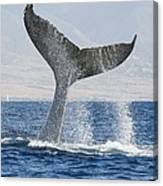 Humpback Whale Fluking Its Tail Canvas Print