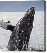 Humpback Whale Canvas Print