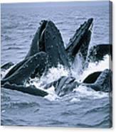 Humpback Whales Gulp Feeding On Herring Canvas Print