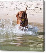 Hungarian Vizsla With Ball At The Beach Canvas Print