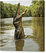 Hungry Alligator Canvas Print