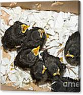 Hungry Baby Birds Canvas Print