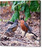 Hungry Baby Robin Canvas Print