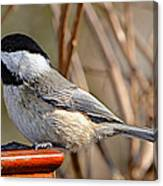 Hungry Chickadee  Canvas Print