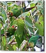 Hungry Chiriqui Conures Canvas Print