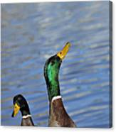 Hungry Duck Canvas Print