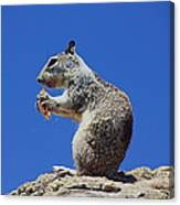Hungry Ground Squirrel Canvas Print
