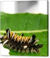 Hungry Hairy Caterpillar Canvas Print