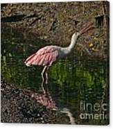 Hungry Pink Spoonbill Canvas Print