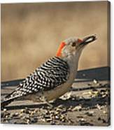 Hungry Red-bellied Woodpecker - Melanerpes Carolinus Canvas Print