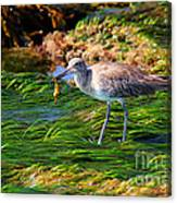 Hungry Willet Canvas Print