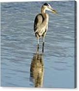 Hunting Great Blue Heron Canvas Print