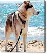 Husky On The Beach Canvas Print