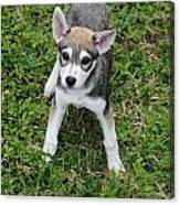 Husky Puppy Canvas Print