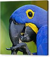 Hyacinth Macaw Anodorhynchus Canvas Print