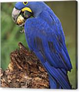 Hyacinth Macaw Eating Piassava Palm Nuts Canvas Print