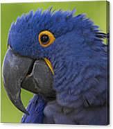 Hyacinth Macaw Portrait Canvas Print