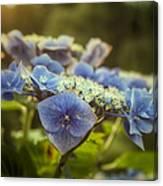 Hydrangea In Fading Light Canvas Print
