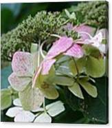Hydrangea White And Pink I Canvas Print