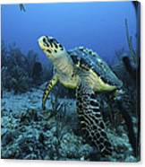 I Am A Proud Hawksbill Turtle Canvas Print