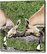 Ibex Doing Battle Canvas Print