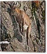 Ibex Pictures 151 Canvas Print