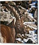 Ibex Pictures 160 Canvas Print