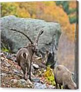 Ibex Pictures 174 Canvas Print