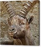Ibex Pictures 40 Canvas Print