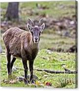 Ibex Pictures 71 Canvas Print