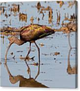 Ibis Feeding On Winter Wetlands Canvas Print