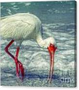 Ibis Feeding Canvas Print
