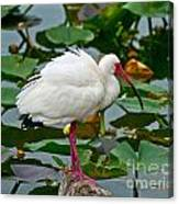 Ibis In Pond Canvas Print