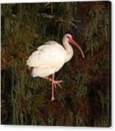 Ibis In The Cypress Canvas Print