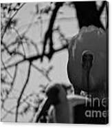 Ibis Stare Down Canvas Print