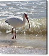 Ibis Walking The Beach Canvas Print