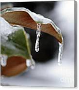 Iced Magnolia Canvas Print