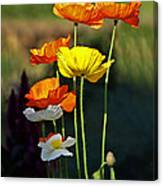 Iceland Poppies In The Sun Canvas Print