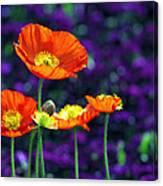 Iceland Poppy Canvas Print
