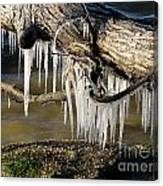 Icicles Hang From Tree Limb Canvas Print