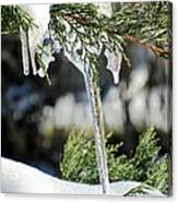 Icicles On Juniper Branch Canvas Print