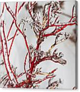 Icy Red Dogwood Canvas Print
