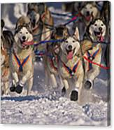 Iditarod Huskies Canvas Print