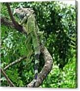 Iguana In A Tree Canvas Print