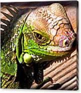 Iguana On The Deck At Mammacitas Canvas Print